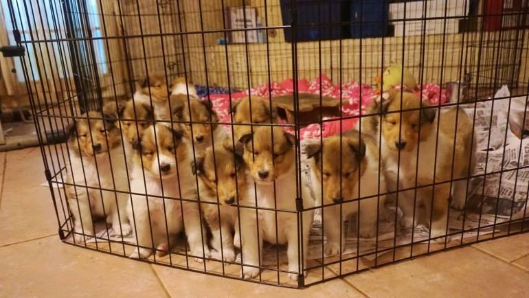 Layla-and-Poppys-13-puppies-1024x619.jpg